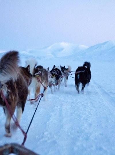 Hunder i spann gjennom snødekt landskap