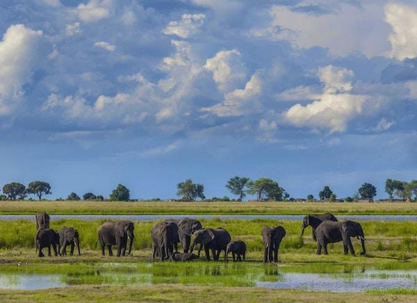 Cumulonimbus stormskyer bygger seg opp bak en gruppe afrikanske elefanter som drikker og bader i sumpmark i regntiden i Chobe nasjonalpark, nord i Botswana, Sør-Afrika.