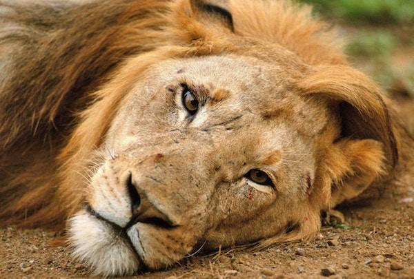 en mannlig løve slapper av etter parring i Kruger nasjonalpark, Sør-Afrika