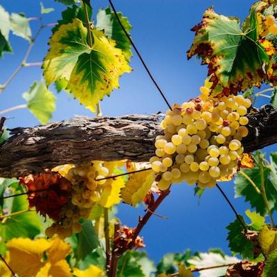 smakfulle modne hvite druer på bakgrunnen av blå himmel