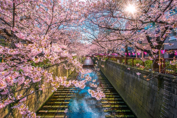 Sakura foret kirsebærblomst fôret Meguro Canal i Tokyo, Japan.