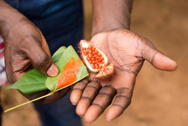 gårdsarbeider, på, zanzibar, krydderplantasje, presenterer, nyhøstet, annatto, mat, fargelegging, frø, under, en, guidet krydder