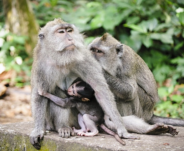 En familie av ville langhalede makak-aper, med en baby som ammer fra moren. Fotografert i Sacred Monkey Forest nær Ubud på Bali, Indonesia. [