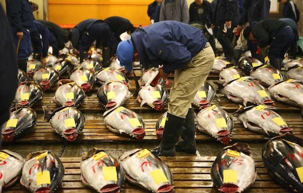 Tunfisk blir inspisert på tokyo-fiskemarkedet