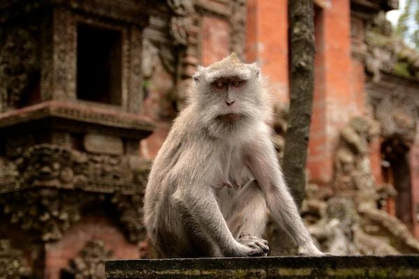 Ape ved et hindu tempel