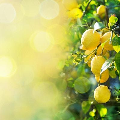 gren av modne sitroner for bakgrunner