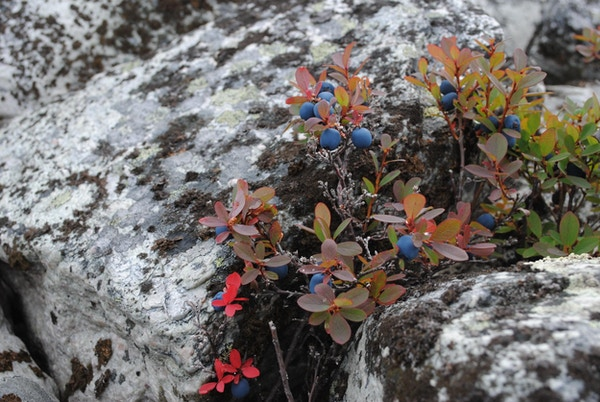 Bærvekster i naturen på Røros