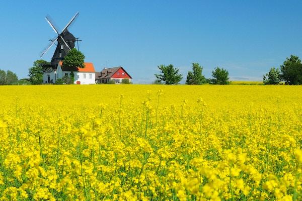 En blomstrende rapsåker med gammeldags vindmølle under klarblå himmel om sommeren i Kronetorp Skåne Sverige.