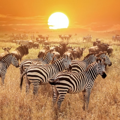 Sebra ved solnedgang i Serengeti nasjonalpark. Afrika. Tanzania.