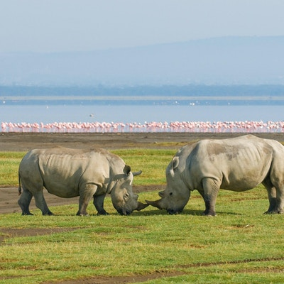 To neshorn står horn mot horn med Ngorongorokrateret og rosa flamingoer i bakgrunnen