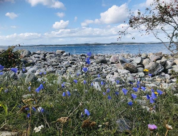 Blåklokker vaier i vinden foran steinstrand og sjø