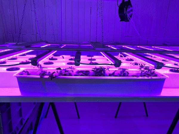 Planter dyrkes i et hydroponi