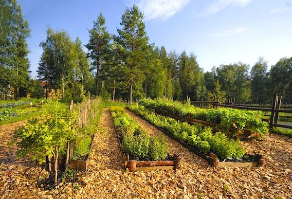 Rader med grønnsaker og vekster dyrkes i organisert form