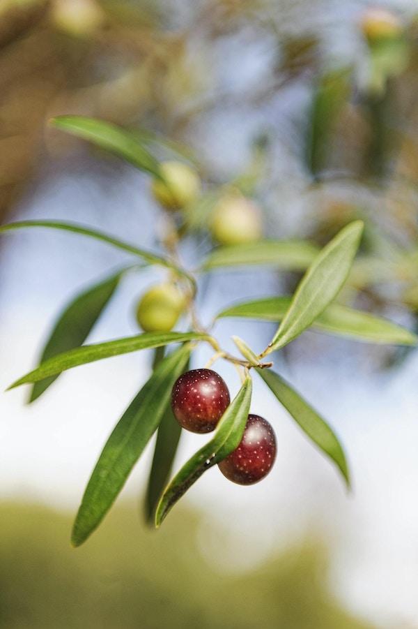 Umodne, røde oliven henger ytterst på grenen på oliventreet foran en blurret bakgrunn