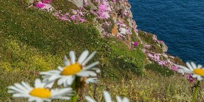 Blomster langs klippene på sør-kysten