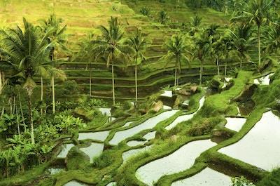 Terrasse risfelt i morgensoloppgang, Ubud, Bali, Indonesia