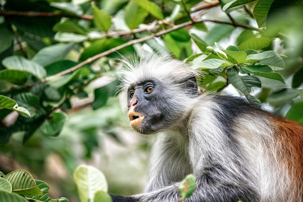 Nærbilde av rød colobus-ape i trærne i Zanzibar regnskog