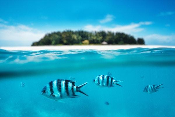 Gruppe av sebrafisker som svømmer i havet. Kombinert utsikt under vannet og på overflaten. Bakgrunn: Uklar Mnemba-øya som er en del av Zanzibar-øygruppen (Tanzania, Afrika),