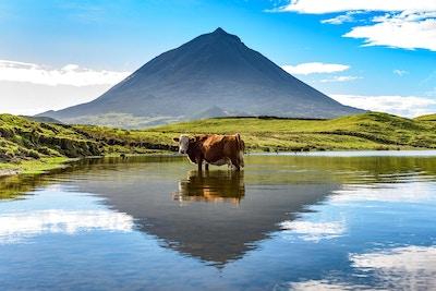 En ku har et øyeblikks hvile, og står i en innsjø nær det ikoniske fjellet Pico, gjenspeilet i vannet.