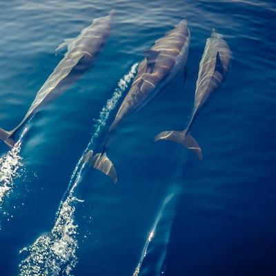 En flokk med delfiner som svømmer foran en båt