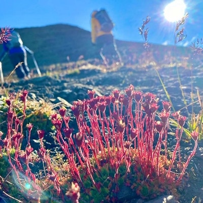 Rød plante som vokser på fjellgrunn med vandrere i bakgrunnen