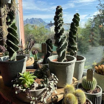 Utstilling av diverse kaktuser i en blomsterbutikk foran et vindu