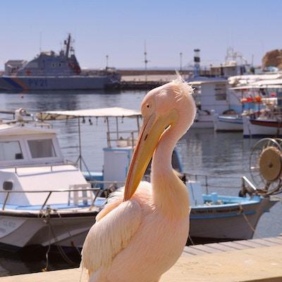 En rosa pelikan er en vanlig besøkende i Pafos havn på Kypros