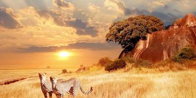 Cheetahs i den afrikanske savannen på bakgrunn av vakker solnedgang. Serengeti nasjonalpark. Tanzania. Afrika.