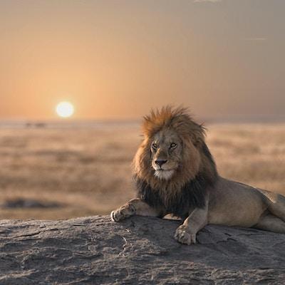 Løve i Serengeti nasjonalpark, Tanzania.