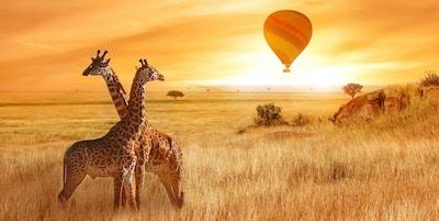 Sjiraffer i den afrikanske savannen på bakgrunn av den oransje solnedgangen. Fly av en ballong på himmelen over savannen. Afrika. Tanzania.
