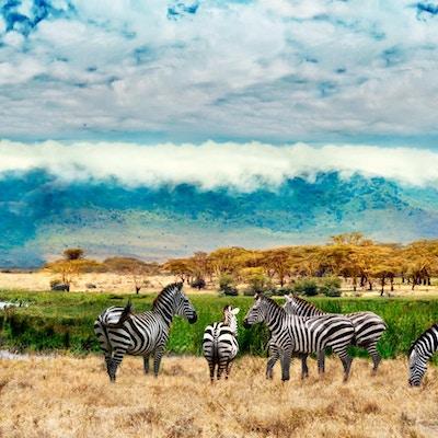 Sebraer fra Ngorongoro-krateret. Tanzania, Afrika.