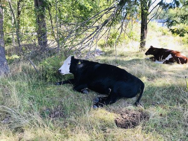 To kuer ligger ned i gresset og slapper av
