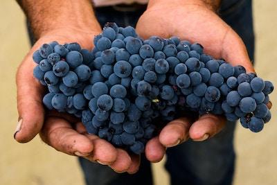 En innhøstingsarbeider som holder druer i hendene sine. Douro, Portugal.