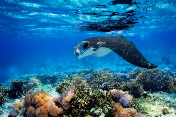 Piggrokke som svømmer over et korallrev i det blå Komodo-vannet