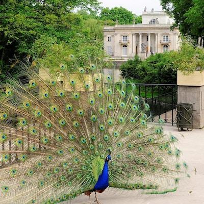 Park med påfugl i all sin prakt