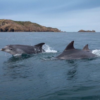 To delfiner svømmer i vann
