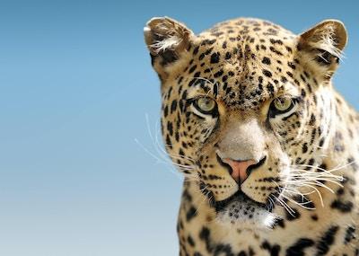 Leopard Against Blue Sky