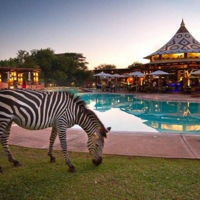 Zebra koser seg også ved bassenget