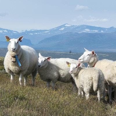 To sauer og to lam ute på beite i fjellandskap med snødekte fjell i bakgrunnen