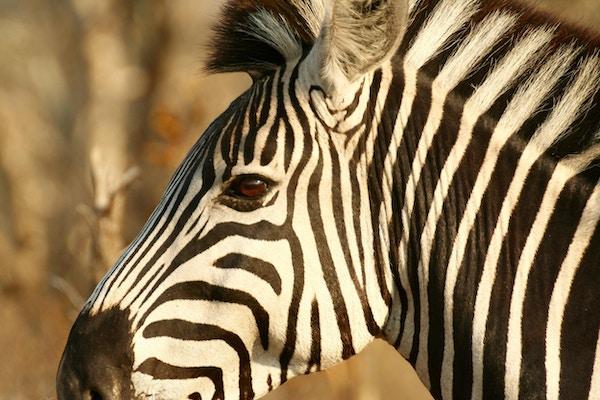 Zebra Makutsi