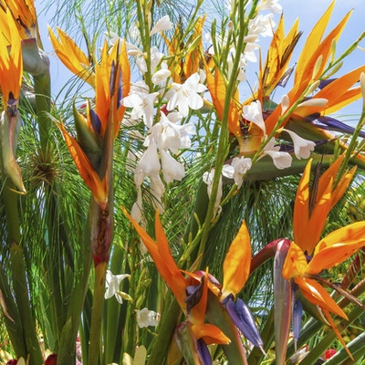 Strelitzia eller Bird of Paradise Flower. Funchal, Madeira, Portugal.