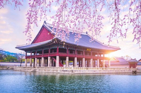 Gyeongbokgung-palass med kirsebærblomsttreet på våren i Seoul-byen Korea, Sør-Korea.