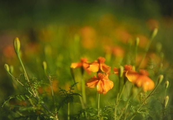 Oransje blomster blant det grønne