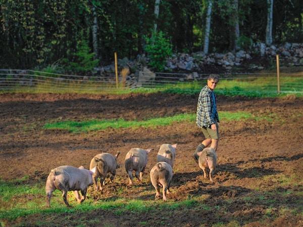 Seks griser som hører til gården lunter etter en mann ute