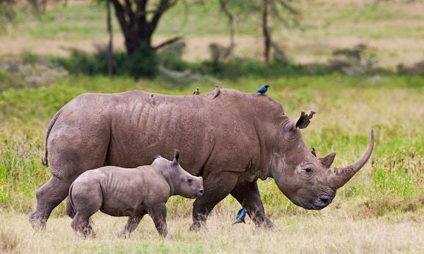 Gettyimages 158370733 Kenya Nairobi Nasjonalpark Safari Neshorn