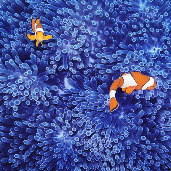 Getty Images 480585447 Maldiverna dykking snorkeling nemo clown fish